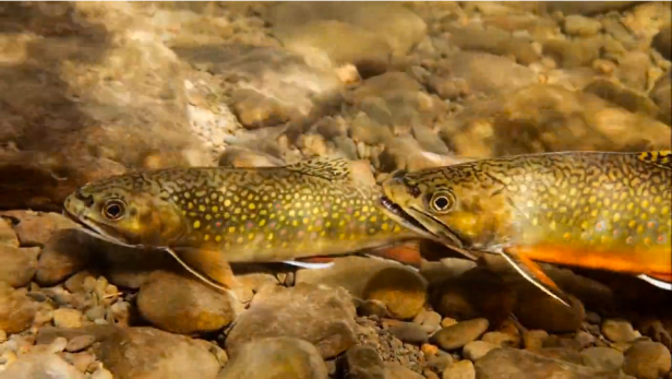 Wild 'Bout Brookies on Vimeo